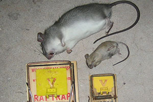 Rat and Mice